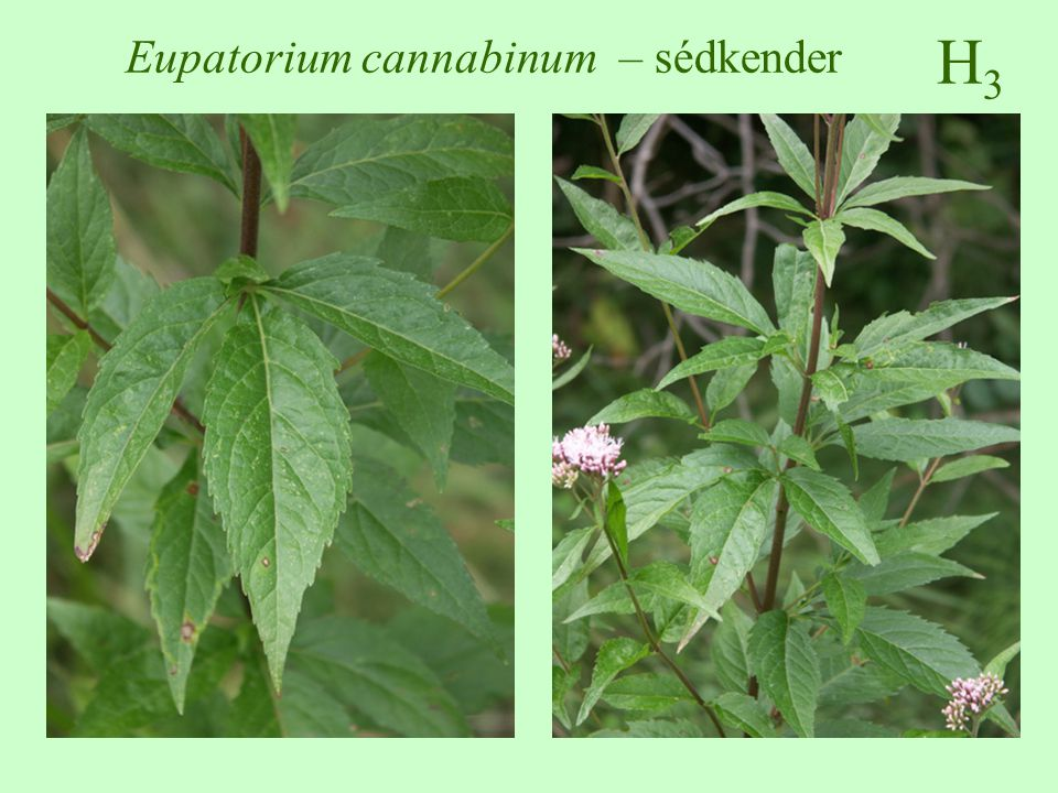 H3H3 Eupatorium cannabinum – sédkender