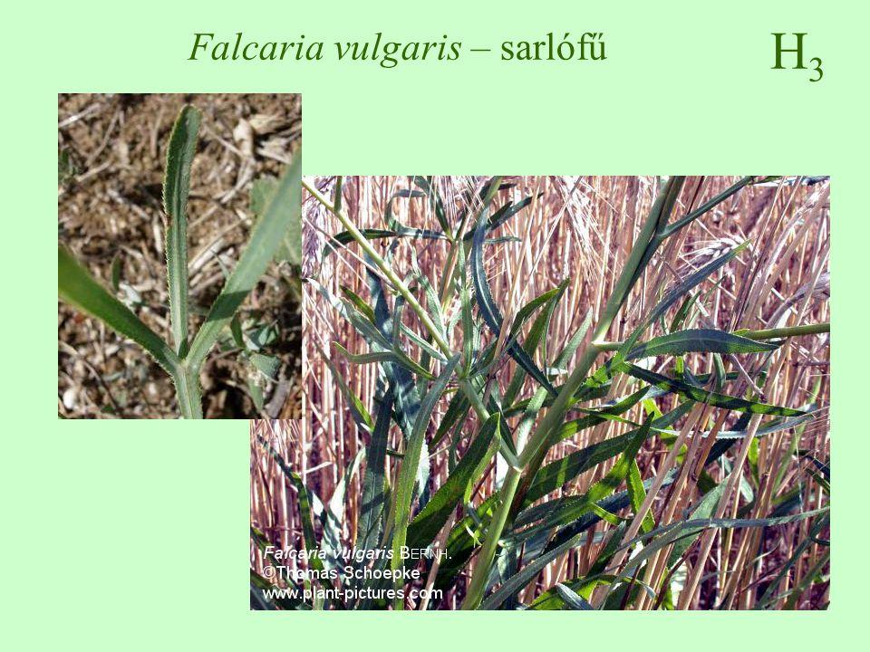 H3H3 Falcaria vulgaris – sarlófű