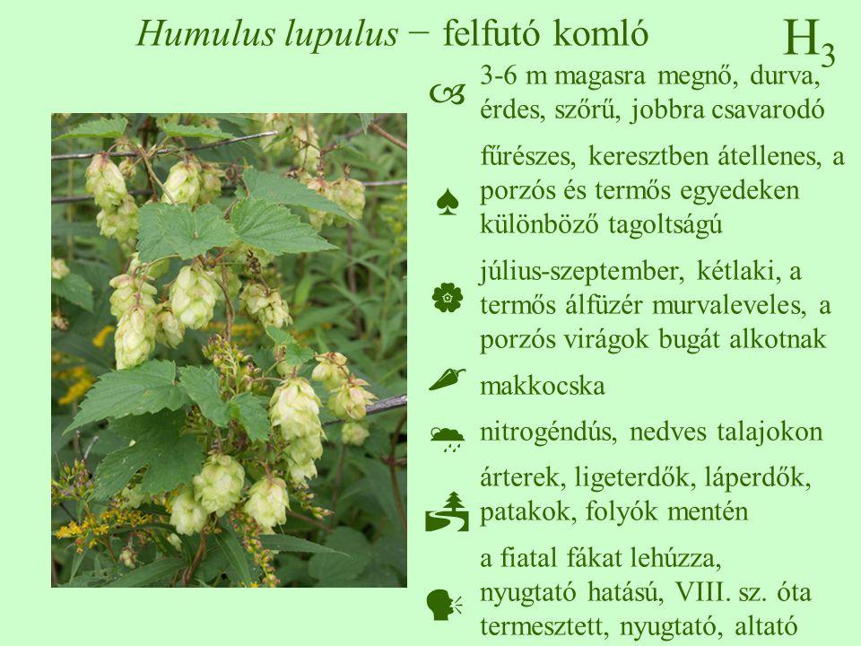H3H3 Humulus lupulus − felfutó komló 3-6 m magasra megnő, durva, érdes, szőrű, jobbra csavarodó fűrészes, keresztben átellenes, a porzós és termős egyedeken különböző tagoltságú július-szeptember, kétlaki, a termős álfüzér murvaleveles, a porzós virágok bugát alkotnak makkocska nitrogéndús, nedves talajokon árterek, ligeterdők, láperdők, patakok, folyók mentén a fiatal fákat lehúzza, nyugtató hatású, VIII.