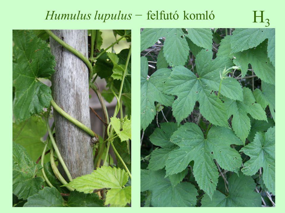 H3H3 Humulus lupulus − felfutó komló