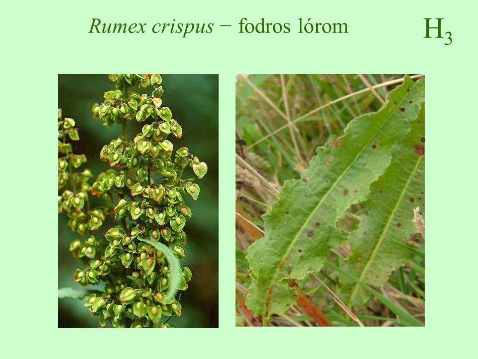 H3H3 Rumex crispus − fodros lórom