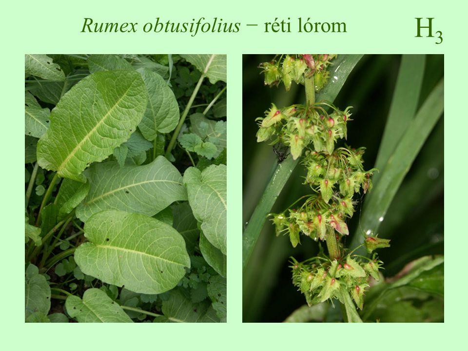 H3H3 Rumex obtusifolius − réti lórom