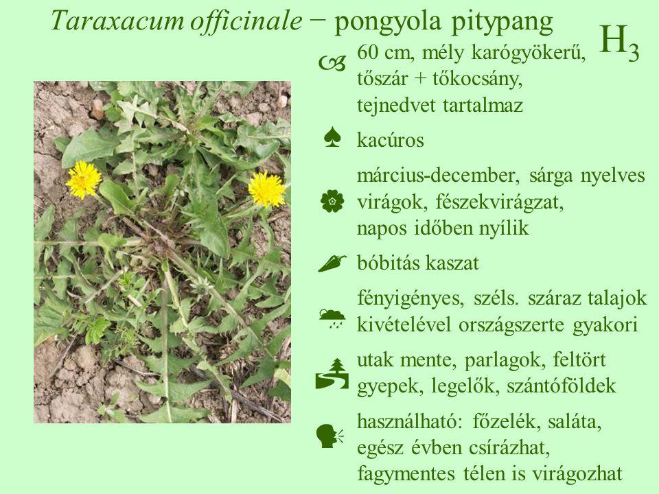 H3H3 Taraxacum officinale − pongyola pitypang 60 cm, mély karógyökerű, tőszár + tőkocsány, tejnedvet tartalmaz kacúros március-december, sárga nyelves virágok, fészekvirágzat, napos időben nyílik bóbitás kaszat fényigényes, széls.