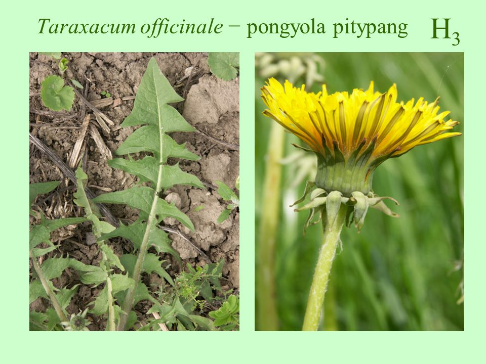 H3H3 Taraxacum officinale − pongyola pitypang