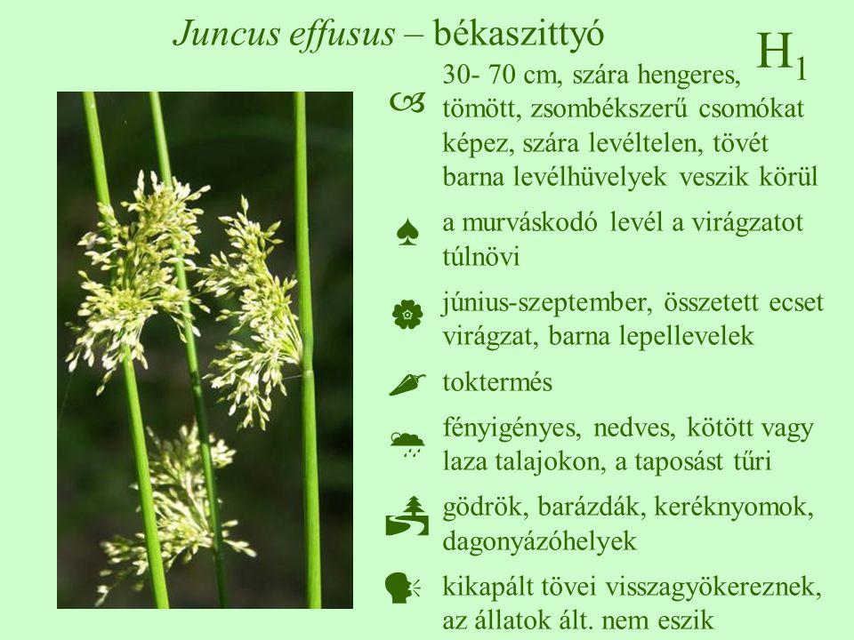 H1H1 Juncus effusus – békaszittyó 30- 70 cm, szára hengeres, tömött, zsombékszerű csomókat képez, szára levéltelen, tövét barna levélhüvelyek veszik körül a murváskodó levél a virágzatot túlnövi június-szeptember, összetett ecset virágzat, barna lepellevelek toktermés fényigényes, nedves, kötött vagy laza talajokon, a taposást tűri gödrök, barázdák, keréknyomok, dagonyázóhelyek kikapált tövei visszagyökereznek, az állatok ált.