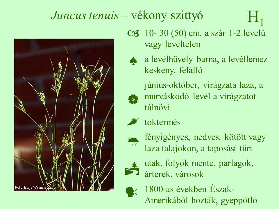 H1H1 Juncus tenuis – vékony szittyó 10- 30 (50) cm, a szár 1-2 levelű vagy levéltelen a levélhüvely barna, a levéllemez keskeny, felálló június-október, virágzata laza, a murváskodó levél a virágzatot túlnövi toktermés fényigényes, nedves, kötött vagy laza talajokon, a taposást tűri utak, folyók mente, parlagok, árterek, városok 1800-as években Észak- Amerikából hozták, gyeppótló  ♠    