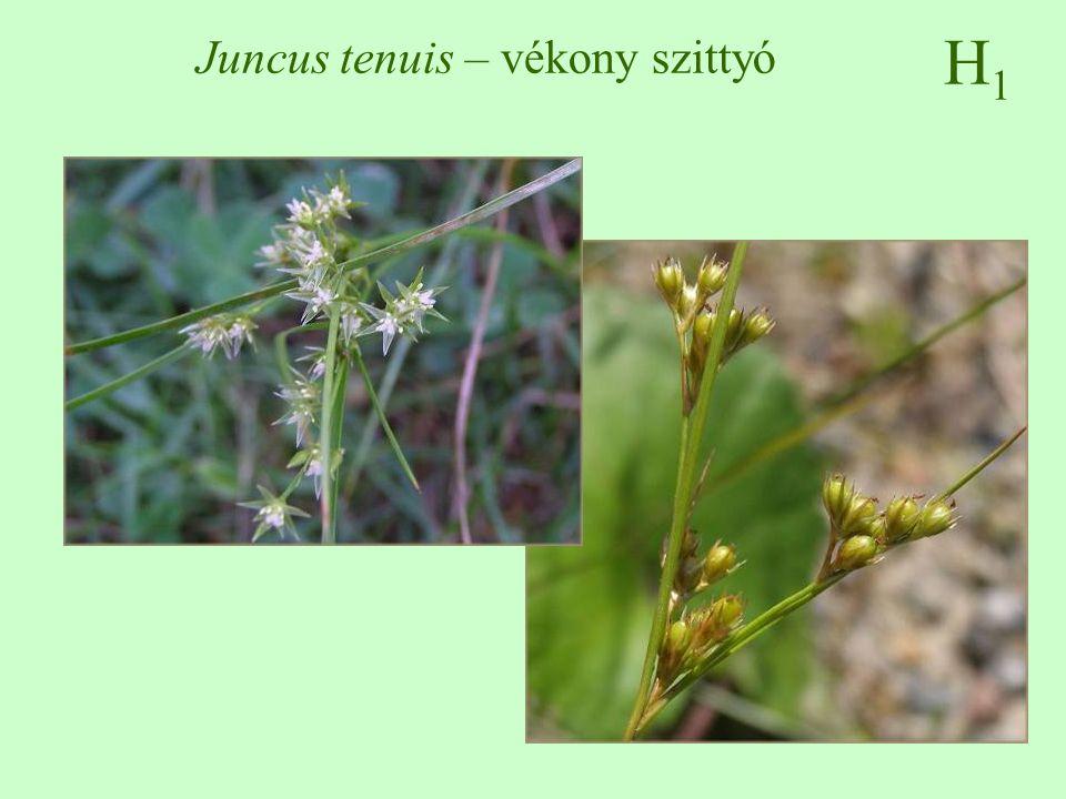 H1H1 Juncus tenuis – vékony szittyó