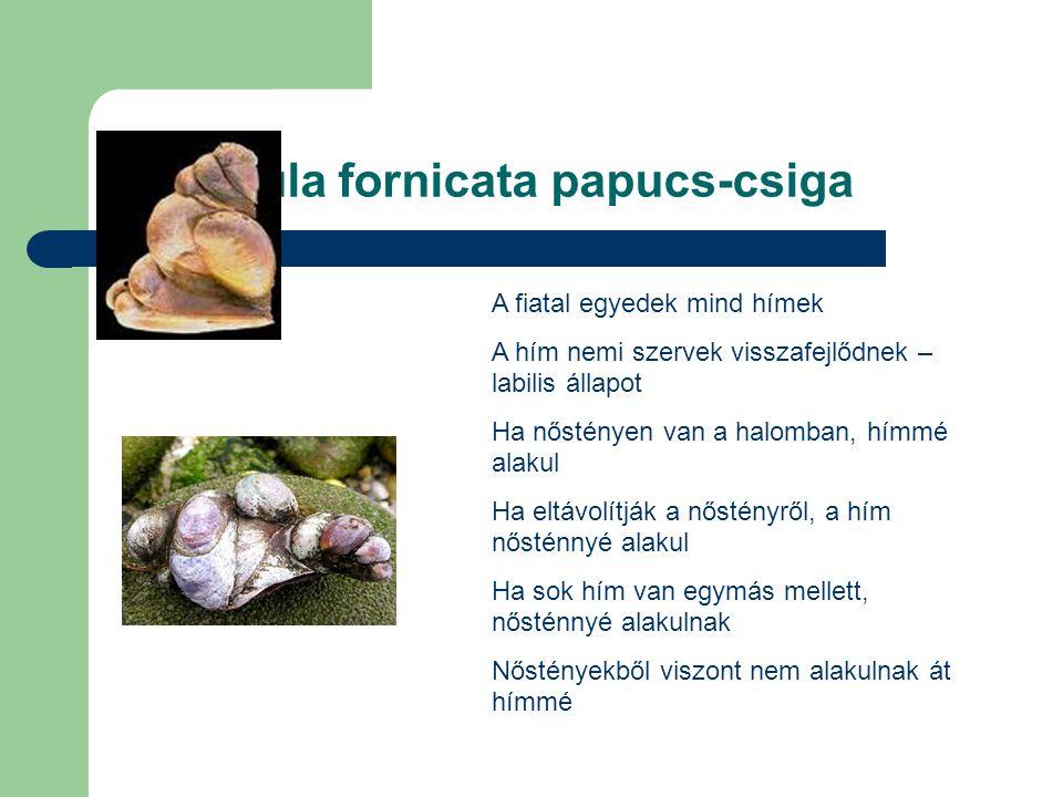 Crepidula fornicata papucs-csiga A fiatal egyedek mind hímek A hím nemi szervek visszafejlődnek – labilis állapot Ha nőstényen van a halomban, hímmé a