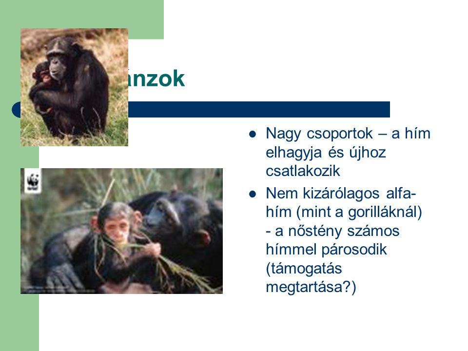 Csimpánzok Nagy csoportok – a hím elhagyja és újhoz csatlakozik Nem kizárólagos alfa- hím (mint a gorilláknál) - a nőstény számos hímmel párosodik (tá