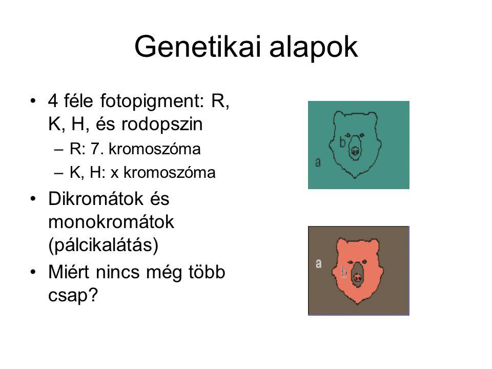 Genetikai alapok 4 féle fotopigment: R, K, H, és rodopszin –R: 7.