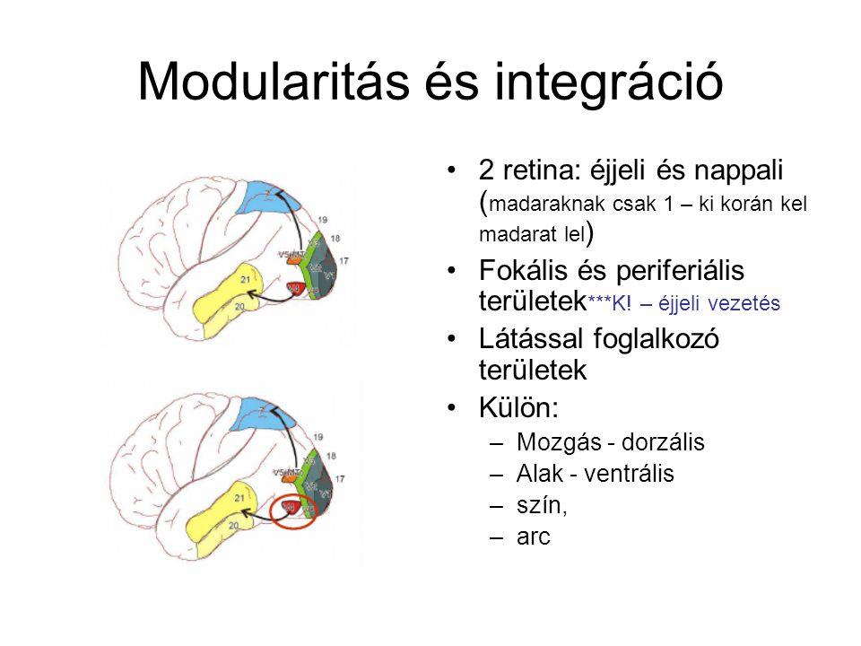Modularitás és integráció 2 retina: éjjeli és nappali ( madaraknak csak 1 – ki korán kel madarat lel ) Fokális és periferiális területek ***K.