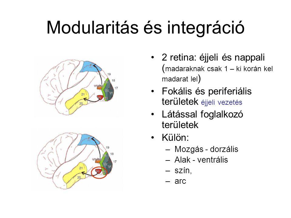 Modularitás és integráció 2 retina: éjjeli és nappali ( madaraknak csak 1 – ki korán kel madarat lel ) Fokális és periferiális területek éjjeli vezetés Látással foglalkozó területek Külön: –Mozgás - dorzális –Alak - ventrális –szín, –arc