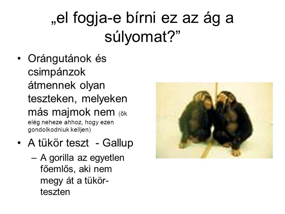 """""""el fogja-e bírni ez az ág a súlyomat? Orángutánok és csimpánzok átmennek olyan teszteken, melyeken más majmok nem (ők elég neheze ahhoz, hogy ezen gondolkodniuk kelljen) A tükör teszt - Gallup –A gorilla az egyetlen főemlős, aki nem megy át a tükör- teszten"""