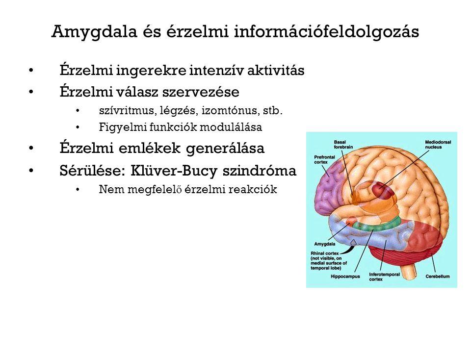 Amygdala és érzelmi információfeldolgozás Érzelmi ingerekre intenzív aktivitás Érzelmi válasz szervezése szívritmus, légzés, izomtónus, stb. Figyelmi