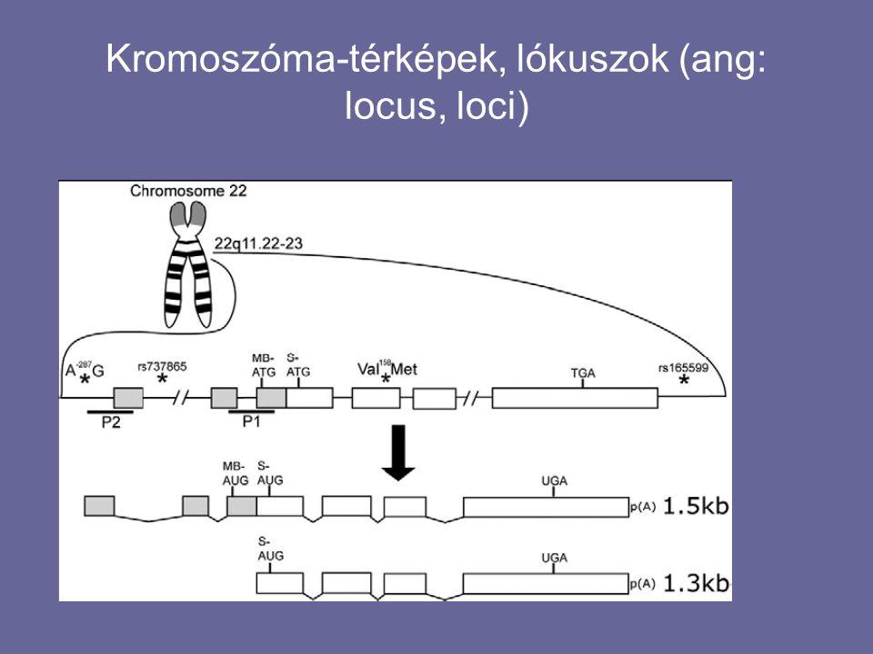 Kromoszóma-térképek, lókuszok (ang: locus, loci)