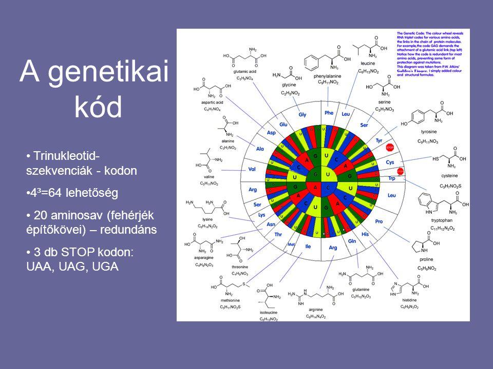 A genetikai kód Trinukleotid- szekvenciák - kodon 4³=64 lehetőség 20 aminosav (fehérjék építőkövei) – redundáns 3 db STOP kodon: UAA, UAG, UGA