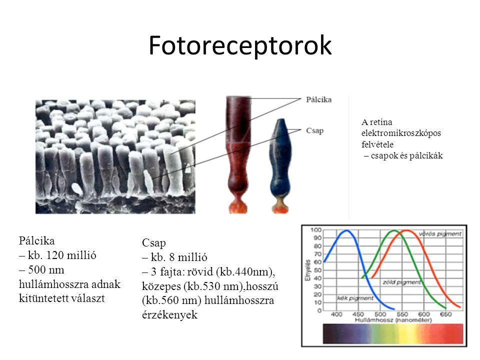 Fotoreceptorok Pálcika – kb. 120 millió – 500 nm hullámhosszra adnak kitüntetett választ Csap – kb. 8 millió – 3 fajta: rövid (kb.440nm), közepes (kb.