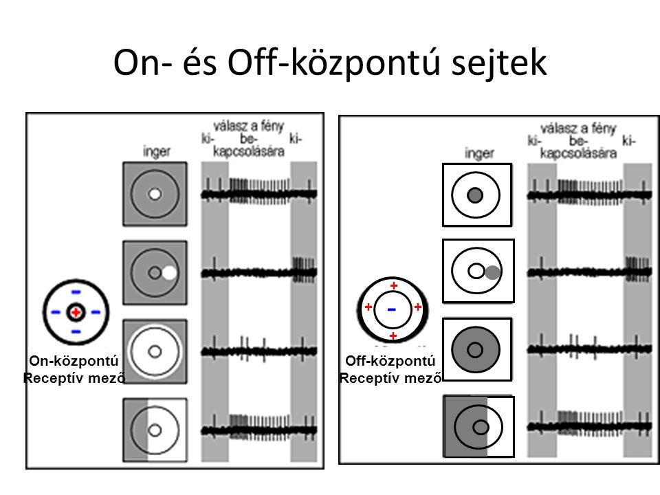 On- és Off-központú sejtek + Off-központú Receptív mező - ++ + On-központú Receptív mező