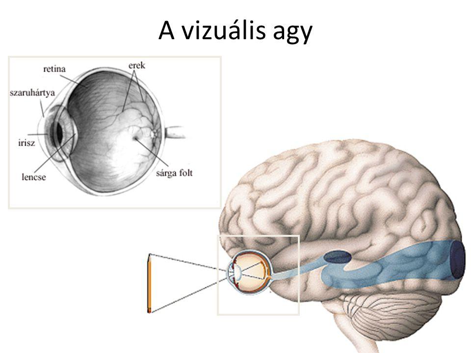 Retinális egysejt elektrofiziológia  A retinális ganglionsejt csak a retina egy adott helyének ingerlésére válaszol  Receptív mező – jellegzetes szerkezet  Központi és környéki  Laterális gátlás