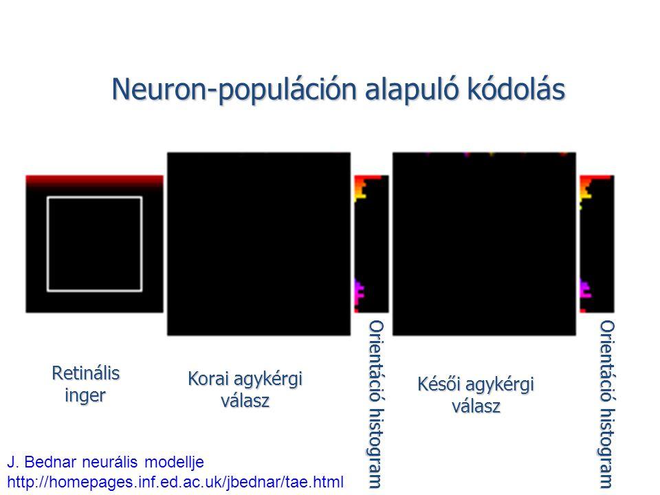Neuron-populáción alapuló kódolás Retinálisinger Korai agykérgi válasz Késői agykérgi válasz Orientáció histogram J. Bednar neurális modellje http://h