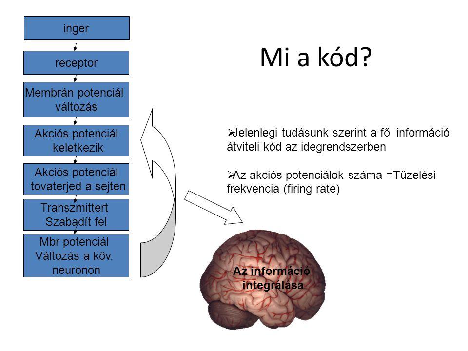 inger receptor Membrán potenciál változás Akciós potenciál keletkezik Akciós potenciál tovaterjed a sejten Transzmittert Szabadít fel Mbr potenciál Vá