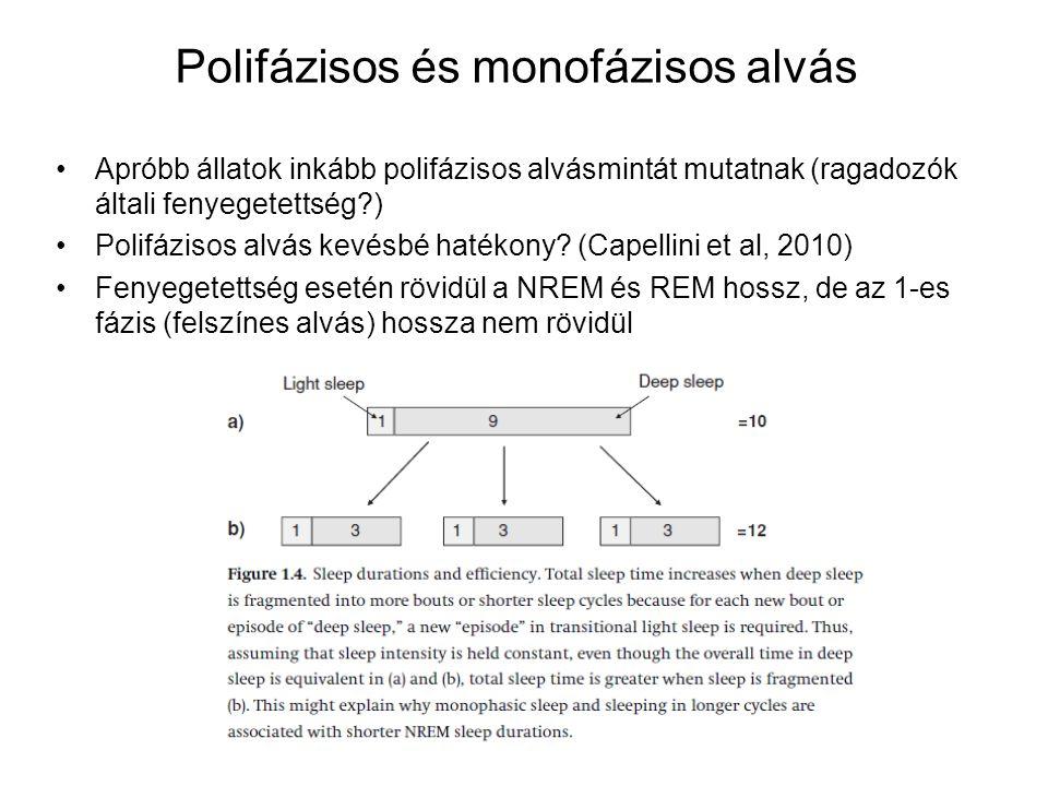Polifázisos és monofázisos alvás Apróbb állatok inkább polifázisos alvásmintát mutatnak (ragadozók általi fenyegetettség?) Polifázisos alvás kevésbé h