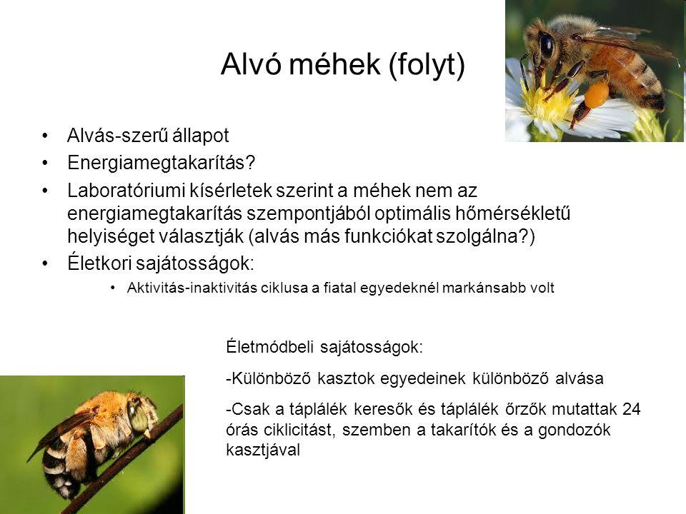 Alvó méhek (folyt) Alvás-szerű állapot Energiamegtakarítás? Laboratóriumi kísérletek szerint a méhek nem az energiamegtakarítás szempontjából optimáli