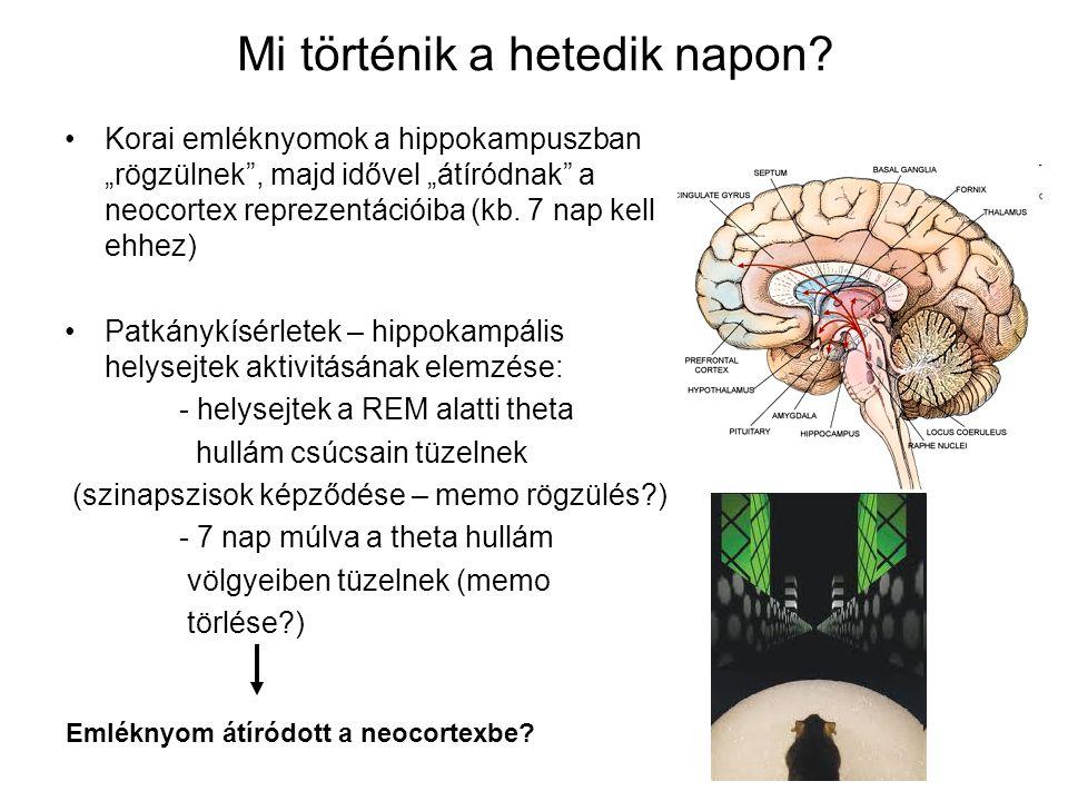 """Mi történik a hetedik napon? Korai emléknyomok a hippokampuszban """"rögzülnek"""", majd idővel """"átíródnak"""" a neocortex reprezentációiba (kb. 7 nap kell ehh"""