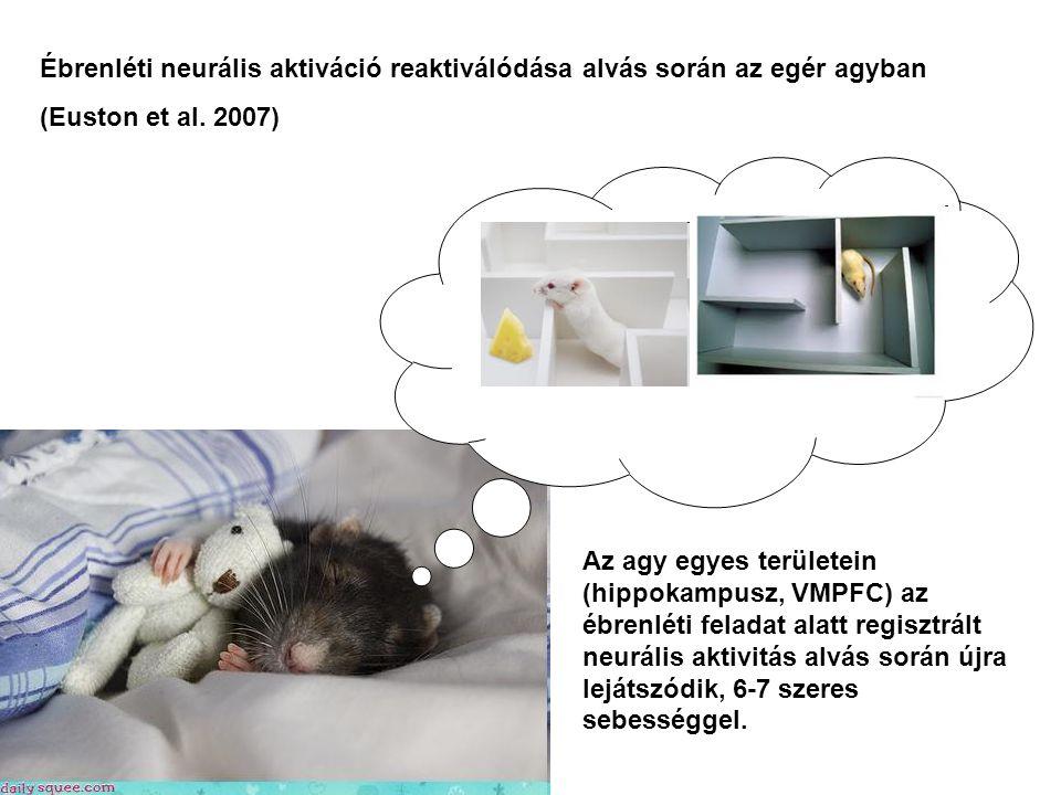 Ébrenléti neurális aktiváció reaktiválódása alvás során az egér agyban (Euston et al. 2007) Az agy egyes területein (hippokampusz, VMPFC) az ébrenléti