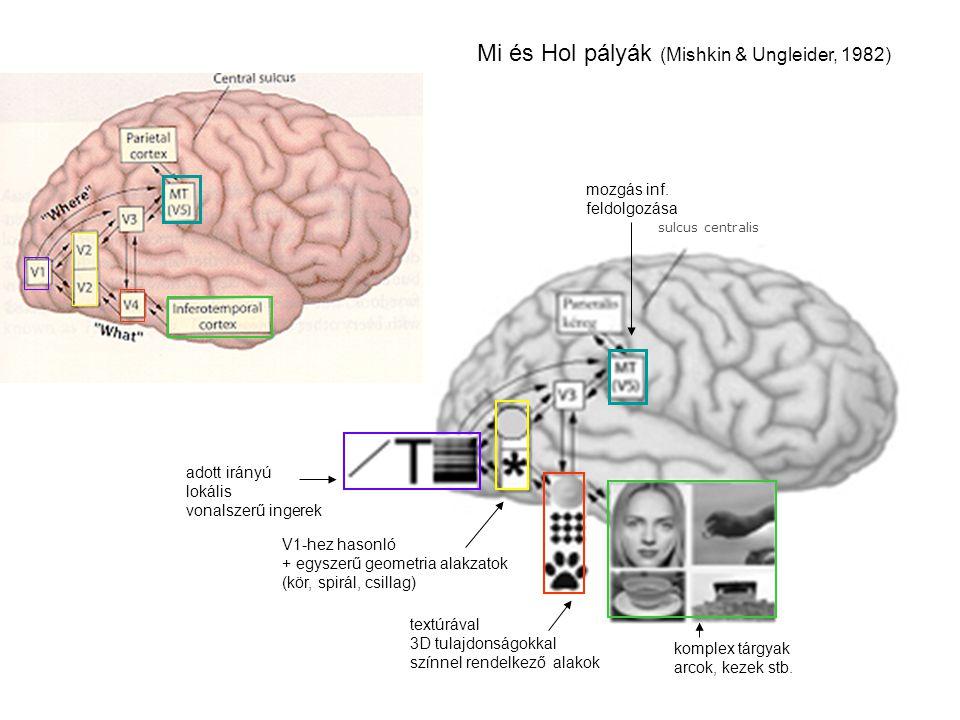 Gátlás – Kontraszt illúziók A látás a környezet változásait jelzi (adaptáció – utóhatások) A látás a környezet változásait kivonatolja (gátlás – kontraszt illúziók)