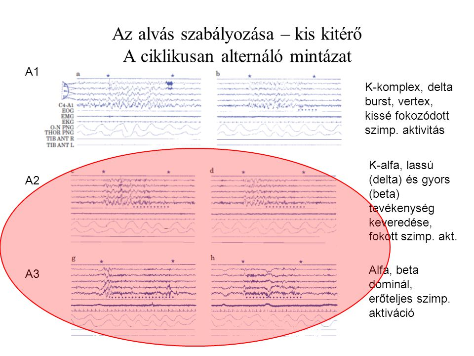 Az alvás szabályozása – kis kitérő A ciklikusan alternáló mintázat A1 A2 A3 K-komplex, delta burst, vertex, kissé fokozódott szimp.