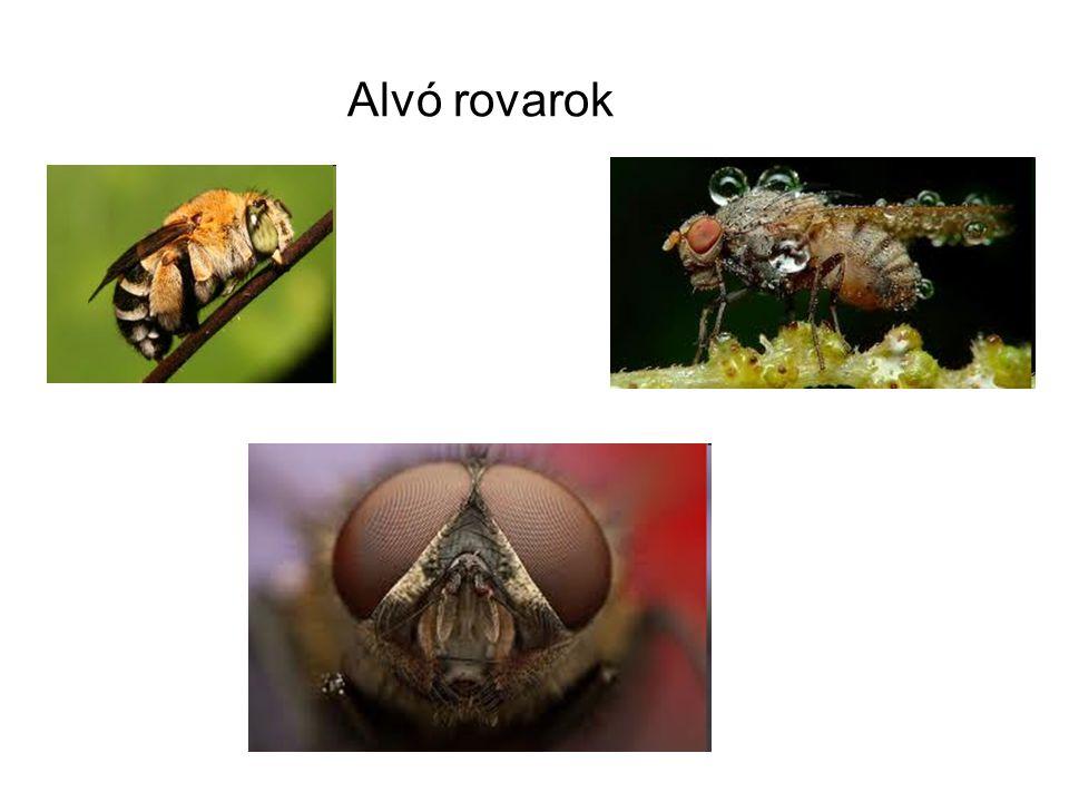 Alvó rovarok