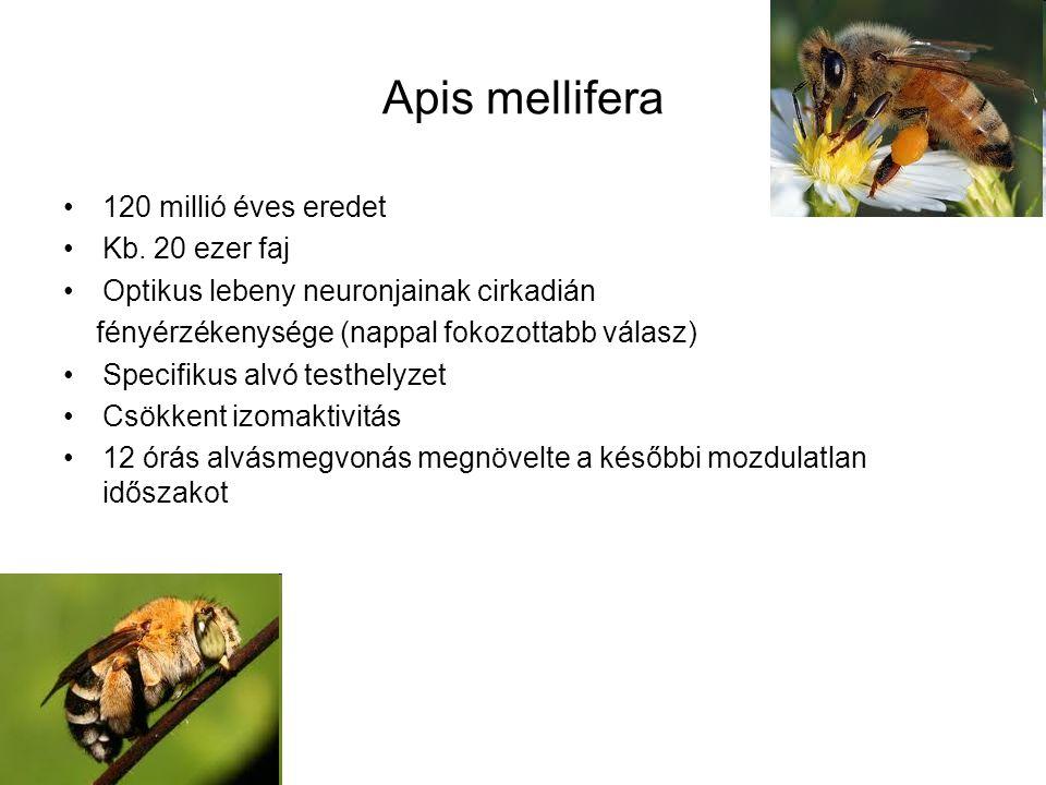 Apis mellifera 120 millió éves eredet Kb.