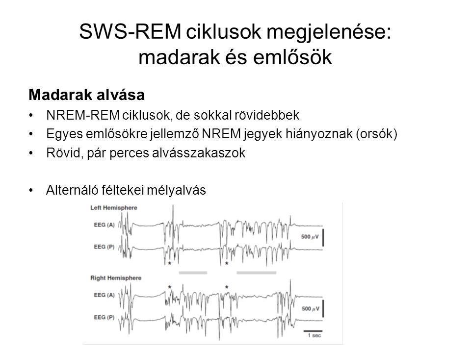 SWS-REM ciklusok megjelenése: madarak és emlősök Madarak alvása NREM-REM ciklusok, de sokkal rövidebbek Egyes emlősökre jellemző NREM jegyek hiányoznak (orsók) Rövid, pár perces alvásszakaszok Alternáló féltekei mélyalvás