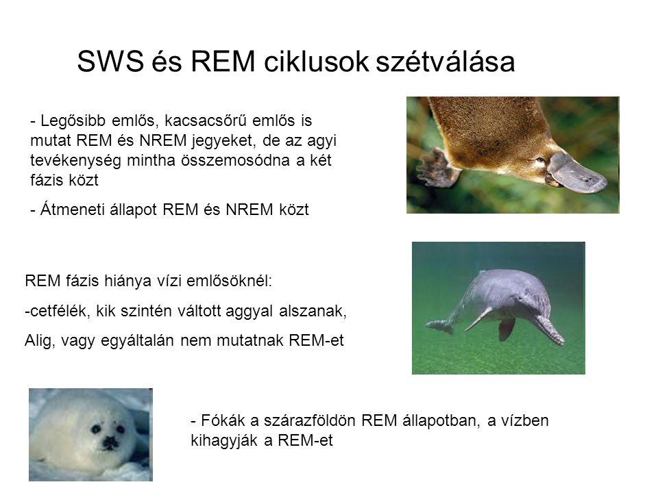 SWS és REM ciklusok szétválása - Legősibb emlős, kacsacsőrű emlős is mutat REM és NREM jegyeket, de az agyi tevékenység mintha összemosódna a két fázis közt - Átmeneti állapot REM és NREM közt REM fázis hiánya vízi emlősöknél: -cetfélék, kik szintén váltott aggyal alszanak, Alig, vagy egyáltalán nem mutatnak REM-et - Fókák a szárazföldön REM állapotban, a vízben kihagyják a REM-et