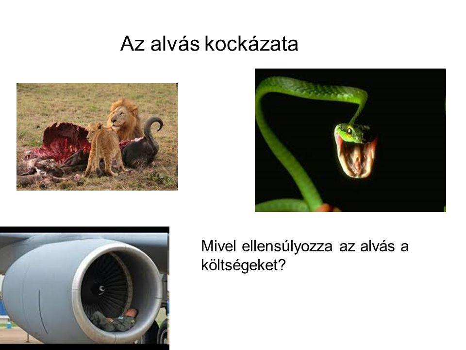 3) Társas élet: kompromisszum a társas élet és az alvás közt Együtt alvó állatok kevesebbet alszanak Ellentmond a ragadozók okozta fenyegetettség elvének