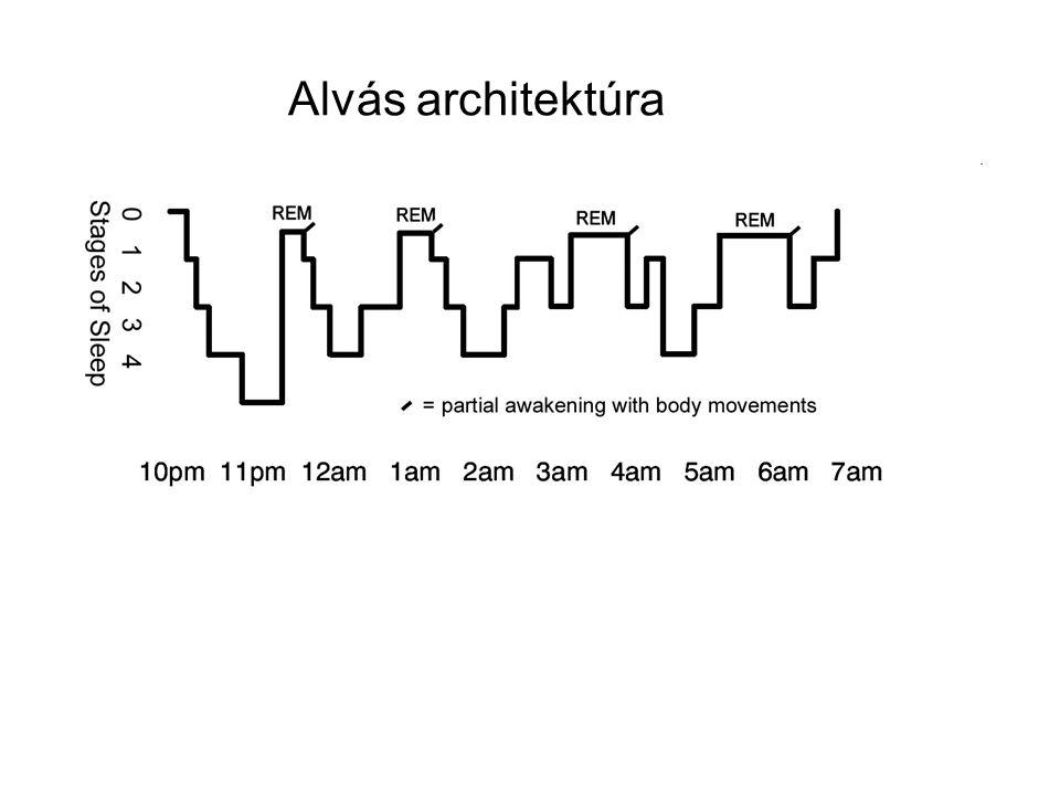 Komparatív szempontok Alvás hossza Alvás szerkezete – ciklusok hossza, mintázata Mintázata: polifázisos vs.