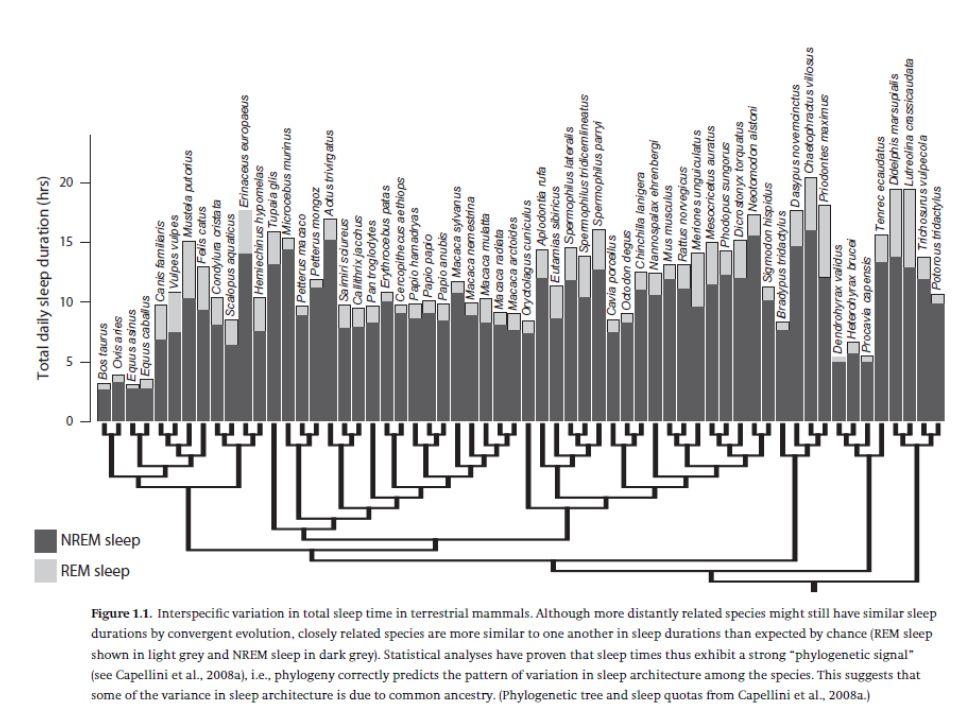 Szárazföldi emlősök REM és NREM arányának összefüggése - Fiziológiailag összefüggő folyamatok - agyi deaktiváció-aktiváció - memóriakonszolidáció - ha megnő az alvás hossza, mindkét fázis hossza megnő