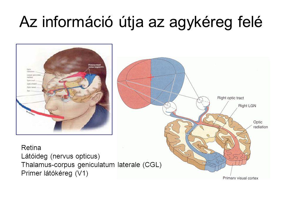 Az információ útja az agykéreg felé Retina Látóideg (nervus opticus) Thalamus-corpus geniculatum laterale (CGL) Primer látókéreg (V1)