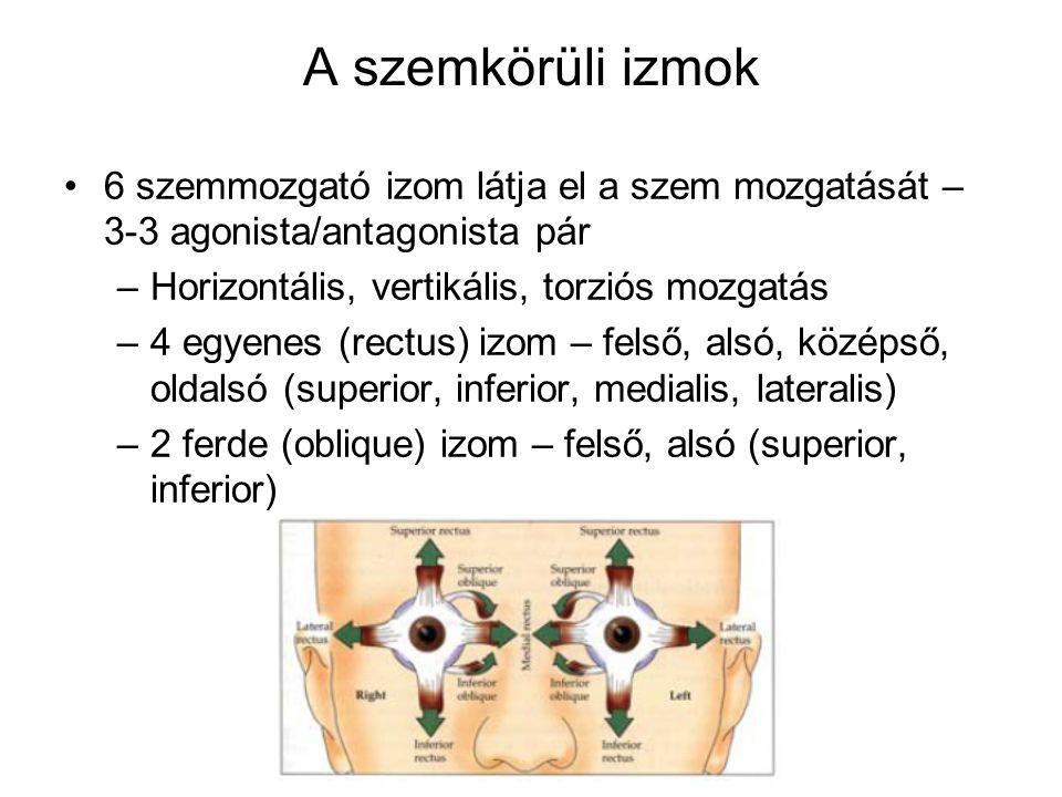 A szemkörüli izmok 6 szemmozgató izom látja el a szem mozgatását – 3-3 agonista/antagonista pár –Horizontális, vertikális, torziós mozgatás –4 egyenes