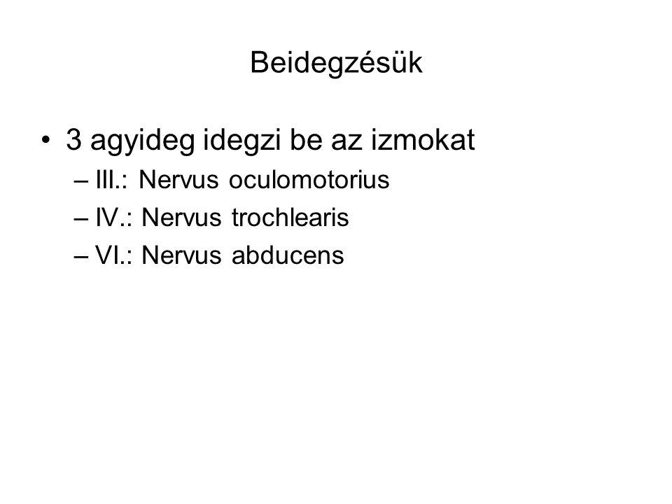Beidegzésük 3 agyideg idegzi be az izmokat –III.: Nervus oculomotorius –IV.: Nervus trochlearis –VI.: Nervus abducens