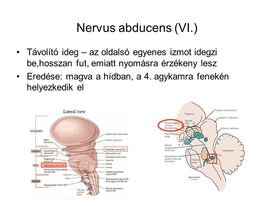 Nervus abducens (VI.) Távolító ideg – az oldalsó egyenes izmot idegzi be,hosszan fut, emiatt nyomásra érzékeny lesz Eredése: magva a hídban, a 4. agyk
