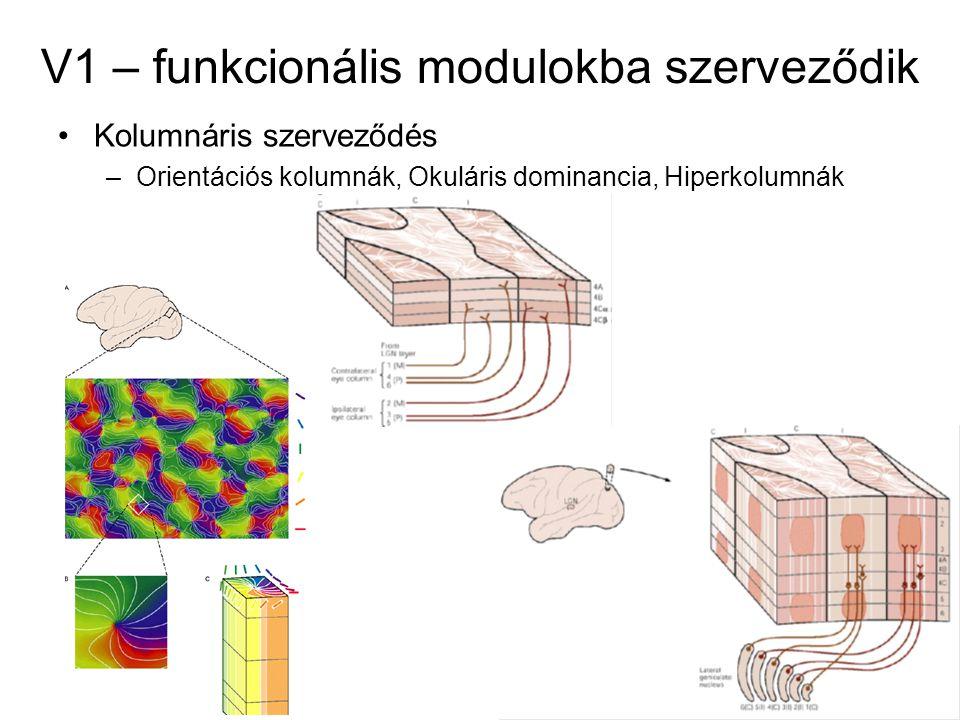 V1 – funkcionális modulokba szerveződik Kolumnáris szerveződés –Orientációs kolumnák, Okuláris dominancia, Hiperkolumnák