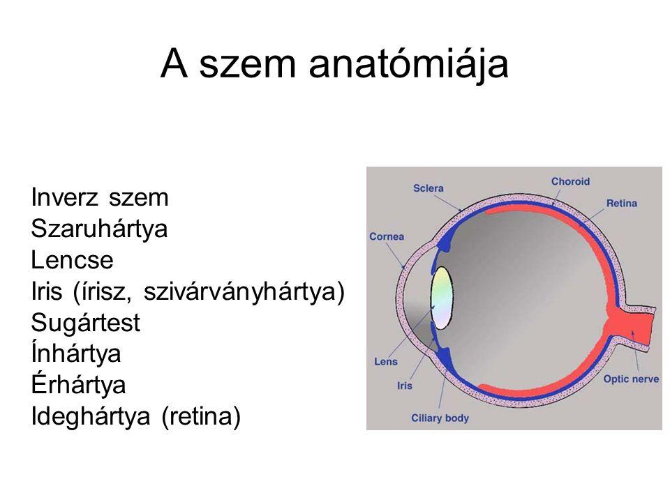 Nervus oculomotorius (III.) Közös szemmozgató ideg – a 6 izom közül 4-et (az alsó ferde izmot, valamint az egyenes izmok közül a felsőt, az alsót és a középsőt), emellett a szemhéjemelő izmot, a pupilla szűkítő izmot és a sugárizmot idegzi be Eredése: motoros magvai - középagy, mesencephalikus formatio reticularis (colliculus superiorban) A szemgödörből kilépve 2 ágra bomlik – superior (rectus superior és szemhéjemelő), inferior (rectus inferior, medialis, oblique inferior) Preganglionáris parasympatikus rostok – pupilla és sugárizom