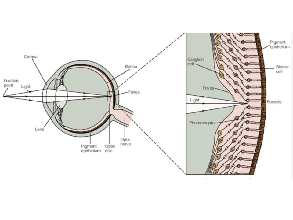 Pupilla reflex Fény egyik szembe – direkt (abban a szemben) és konszenzuális (másikban) válasz Reflexet mediálják: retinális ganglionsejtek Sejtjei: bilaterális Edinger-Westphal nucleusban preganglionáris paraszimpatikus neuronok (III.