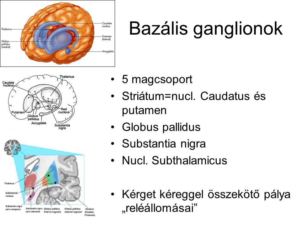 Bazális ganglionok 5 magcsoport Striátum=nucl.