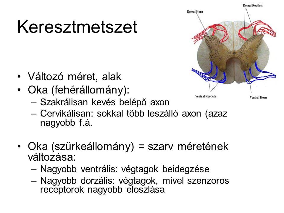 Keresztmetszet Változó méret, alak Oka (fehérállomány): –Szakrálisan kevés belépő axon –Cervikálisan: sokkal több leszálló axon (azaz nagyobb f.á.