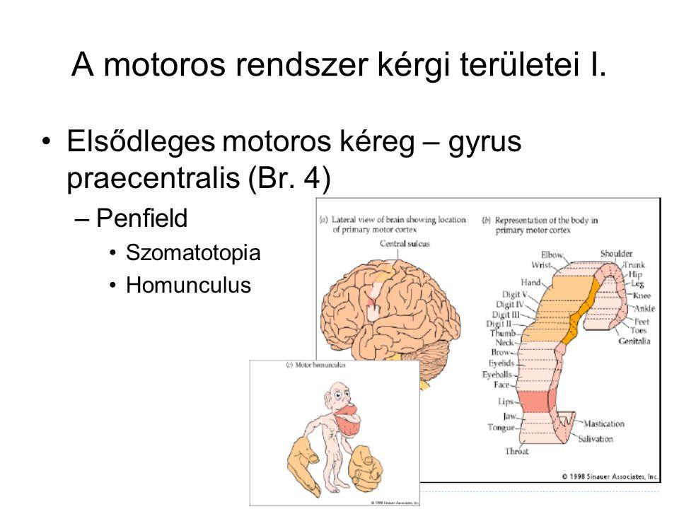 Kisagy Párhuzamosan kapcsolt modulokból áll Elágazó afferensek, kérgi sejtek, efferensek és mélyagyi magvak Bemenet: mély kisagyi magvakhoz vagy interneuronokon keresztük a kisagy kérgi Purkinje-sejtekig Inter- neuron P.s.