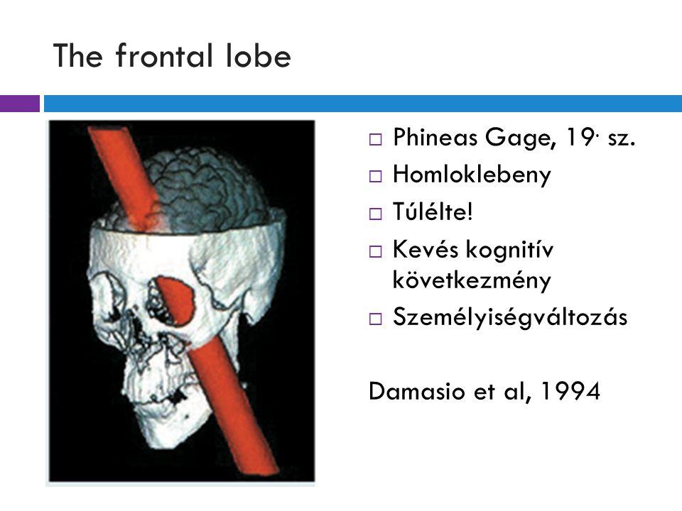 The frontal lobe  Phineas Gage, 19.sz.  Homloklebeny  Túlélte.