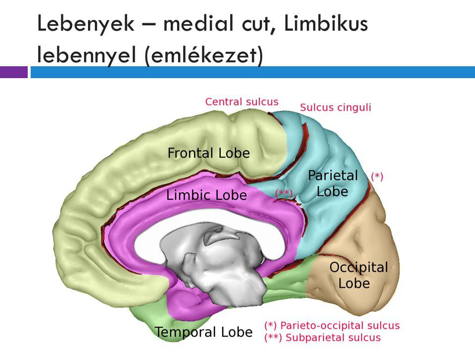 Lebenyek – medial cut, Limbikus lebennyel (emlékezet)